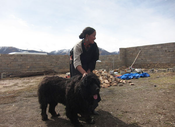 Photos, Images & Pictures of Mastiff Dogs, Tibet China Photo