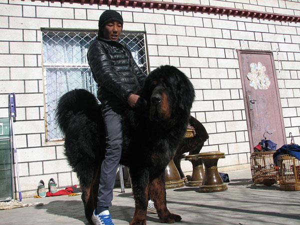 Large Size Mastiff Dog